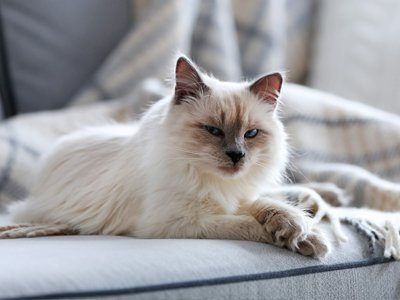 Picture of a cat on a sofa